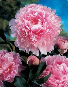 Double Peony - Sarah Bernhardt. No garden is complete without at least two shades of peonies.