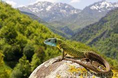 Schreiber's green lizard