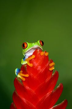 frog on red plant