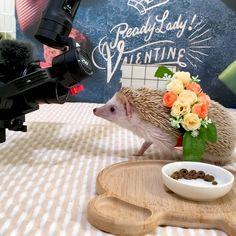 Hedgehog Pet, Cute Hedgehog, Hedgehogs, Cosplay, Pets, Youtube, Animales, Hedgehog, Youtubers