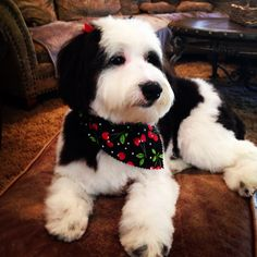 Sheepadoodle puppy I hope one day I can get this for myself