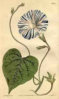 8706 Ipomoea purpurea (L.) Roth var. varius [as Convolvulus purpureus L. var. varius]  / Curtis's Botanical Magazine, vol. 41: t. 1682 (1815) [S.T. Edwards]