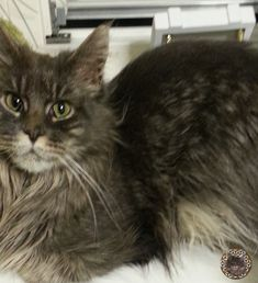 Nero waiting for cuddle Mystery, Cuddle, Waiting, Cats, Animals, Maine Coon Cats, Kunst, Gatos, Animales