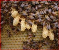 ≗ The Bee's Reverie ≗  Queen cells are made only when a new queen is needed, like in the case of a swarm, where the original queen leaves with about half the hive. The first queen to hatch after the swarm departs is the new queen. If two hatch at the same time, it's a fight to the death.