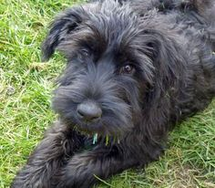Jett the Giant Schnauzer Pictures 913284 look at that face!!!