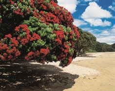 Northland > Explore NZ Places To Visit > Beaches & Sub-Tropic Weather New Zealand Art, New Zealand Travel, Kauri Tree, The Beautiful Country, Sea Birds, Whale Watching, Environmental Art, Trees To Plant, Lush