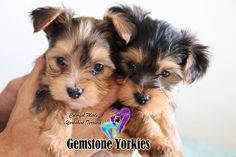 Available Rare Exotic Colored Yorkies for sale? Merle Yorkie Puppies in California near me, Yorkshire terriers, Merle Breeders in America, Quality Yorkies, Moringa Yorkies with champion bloodlines and health guarantee. Yorkie Puppy For Sale, Cute Dogs And Puppies, Yorkie Puppies, Puppies For Sale, Yorkies, Yorkie Breeders, Purebred Dogs, Teacup Yorkie, Teacup Puppies