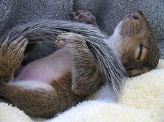Sleeping squirrel.. Look at that little tummy!!❤️