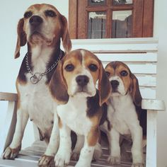 Are you interested in a Beagle? Well, the Beagle is one of the few popular dogs that will adapt much faster to any home. Cute Dog Photos, Dog Pictures, Cute Beagles, Cute Dogs, Baby Dogs, Dogs And Puppies, Doggies, Beagle Breeds, Dog Anxiety