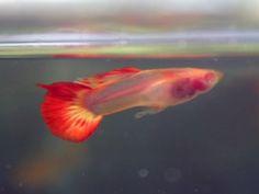 Albino Red tail Glass Guppy - Guppy Pro | Guppy Pro Betta Aquarium, Freshwater Aquarium Fish, Fish Aquariums, Guppy, Dwarf Frogs, Fish Garden, Otters Cute, Salt Water Fish, Cool Fish