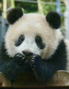 Pandas love the little things Cute Funny Animals, Funny Animal Pictures, Cute Baby Animals, Panda Day, Red Panda, Panda Lindo, Cute Panda Wallpaper, Panda Bebe, Baby Panda Bears