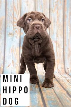 mini hippo dog Cute Pug Puppies, Mini Puppies, Cute Pugs, Mini Dogs Breeds, Puppy Breeds, Cocker Spaniel Mix, American Cocker Spaniel, Wrinkle Dogs, Puppy Mix