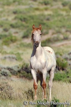 Mustang - a pretty light red roan wild horse ... a red-head with freckles!