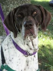 Roy is an adoptable German Shorthaired Pointer Dog in Waukesha, WI. Hi, I am Roy and I am a 9 year old German Shorthair Pointer that probably needs a JOB. I am high energy and will try very, very har...
