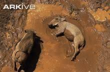 Image result for warthogs VIDEO Image