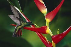 1157421 Rufous Tailed Hummingbird Amazilia Tzacatl Feeding At And Pollinating Heliconia Heliconia Latispatha Fl Heliconia Hummingbird Flowers Hummingbird