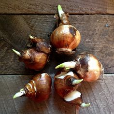 Instructions for forcing bulbs indoors, from EverlonGardener