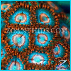 Snitches Zoa from zoanthids.com  #soft #coral #softcoral #marine #marinetank #tank #aquarium #marineaquarium #nanotank #nanoaquarium #reefaquarium #reeftank #sea #saltwater #saltwatertank #saltwateraquarium #animal #fish #fishes #corals #zoa #zoas #zoanthid #zoanthids