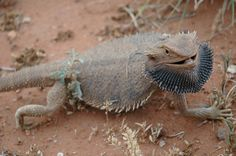 Pogona (Bearded Dragon) — Click on the image to see facts about this topic. Citelighter lets you save, organize, and cite all of your research online. #citelighter