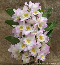 Dendrobium nobile rózsaszín-ez is kell nekem