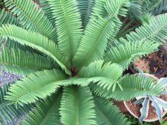 Encephalartos sclavoi