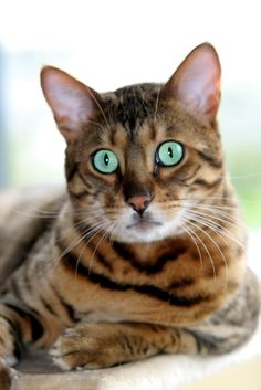 BENGAL CATS: TAKE A WALK ON THE WILD SIDE