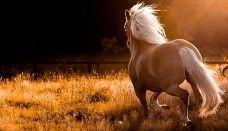 Horse wallpaper pony running free
