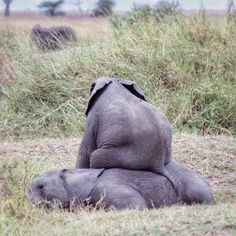 Although this is cute calves behavior, are that every 25 minutes, an African elephant is slaughtered by poachers. The Animals, Cute Baby Animals, Funny Animals, Wild Animals, Elephant Love, Elephant Gifts, Funny Elephant, Beautiful Creatures, Animals Beautiful