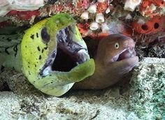 """dynamicoceans: """" Moray Eels To breath they open and close their mouths to force water over their gills. Video """""""