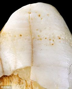 But the study found grooves  present in the female fossils (pictured) followed the same pattern, and were different to those found in male individuals. 'What we have now discovered is that the grooves detected in the teeth of adult women are longer than those found in adult men,' said Professor Rosas
