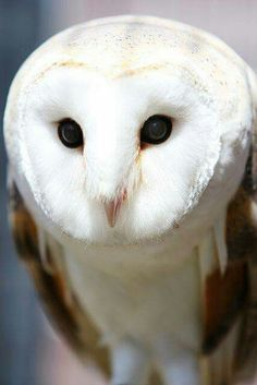 Barn Owl - Bird of Prey ~ Owls Symbolize Mystery Beautiful Owl, Animals Beautiful, Cute Animals, Owl Photos, Owl Pictures, Photo Animaliere, Owl Bird, Tier Fotos, Baby Owls