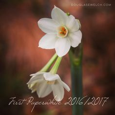 The First Paperwhite 2016/2017  Our seasons are a bit different here in Southern California so our Spring bulbs arrive with the first rains of our season in late Fall and early Winter.  These bulbs were some that I planted new this year. The older bulbs are putting up leaves but this one decided to bloom first. I was In the garden yesterday and happened to notice it.  #flowers #paperwhites #garden #nature #outdoors #bulbs #ig_garden #flowersofinstagram #flowerstagram #rainbow_petals…