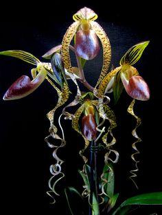 Paphiopedilum sanderianum x gigantifolium orchid slipper