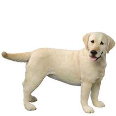 Yellow Lab - 22