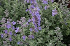 Dropmore Showy Catmint - Nepeta x faassenii 'Dropmore' by Green Acres Nursery and Supply - Roseville and Sac