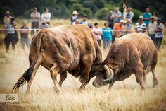 lucha de bueys by Lujo