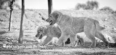 Fotografia de Goldens Retrievers - Lion e Cheetara   Pet Retrato - Fotografia cães, foto gatos, foto pet, Foto cães, fotografia animal, book cachorro, álbum cachorro, pet book