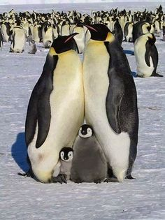 Penguin Family.