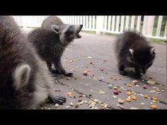 The 'Coons • 06.10.2012 • Afternoon  Mama raccoon with her babies. Adorable!!!