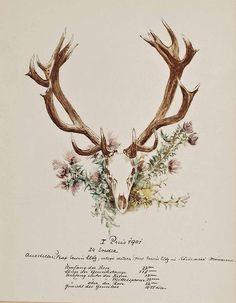 cocoroachchanel: Darstellung eines Hirschgeweihs (Jagdtrophäe), erlegt auf gräfliche Jagden in Ungarn,1901, Sándor Szapáry de Szapár