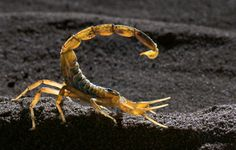Deathstalker Scorpion | The Deathstalker Scorpion Scorpion Facts The Clinical Trial Lead ...