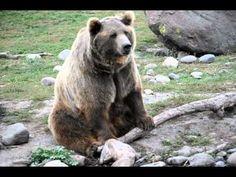 Brutus the Bear (800-pound Best Friend)