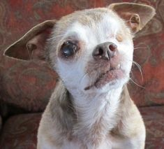 Harley, a 13 year old Chihuahua and an iconic figure in the world of puppy mill awareness through social media, spent 10 years as a commercial breeder in a puppy mill. His one-eyed, grizzled image is immediately recognizable, due primarily to the fact he lost an eye being power washed at the puppy mill.