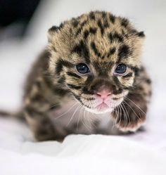 Look who's on the prowl at Nashville Zoo! This tiny Clouded Leopard cub, born on February 19, is part of a world-wide effort of zoos and conservation organizations to protect this rare species. See more adorable kitty pics on ZooBorns.com