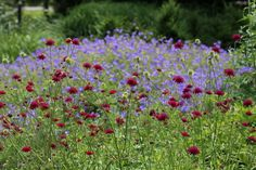 How To Buy & Plant Herbaceous Perennials