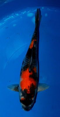 1000 images about koi fish on pinterest koi koi fish for Koi fish farm near me