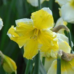 Narzisse 'Cassata' mit gespaltener Krone, die auf den weißen Blütenblättern aufliegt. Toll im Bauerngarten, Cottage Garden und Naturgarten. Pflanzzeit ist im Herbst - online erhältlich bei www.fluwel.de