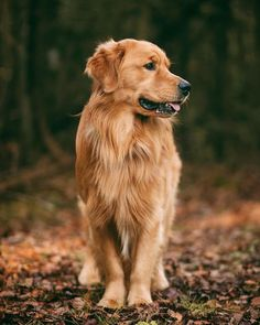 "Golden Retriever ""Who wants to explore the forest with me? Chien Golden Retriever, Golden Retrievers, Beautiful Dogs, Animals Beautiful, Cute Dog Wallpaper, Cute Dogs And Puppies, Doggies, Retriever Puppy, Golden Dog"