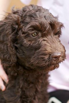 Beautiful chocolate Australian labradoodle hanging out at the Trinity Outback. Picture courtesy of our friends at www.kateandkris.com
