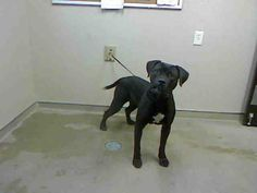*ATHENA-ID#A696850    Shelter staff named me ATHENA.    I am a female, black and white Mastiff mix.    The shelter staff think I am about 2 years and 1 month old.    I have been at the shelter since Jan 31, 2013.